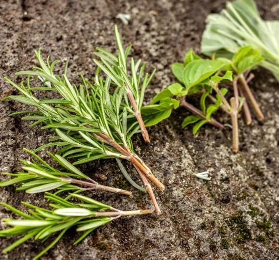 Frische Triebe bereit zum Einpflanzen