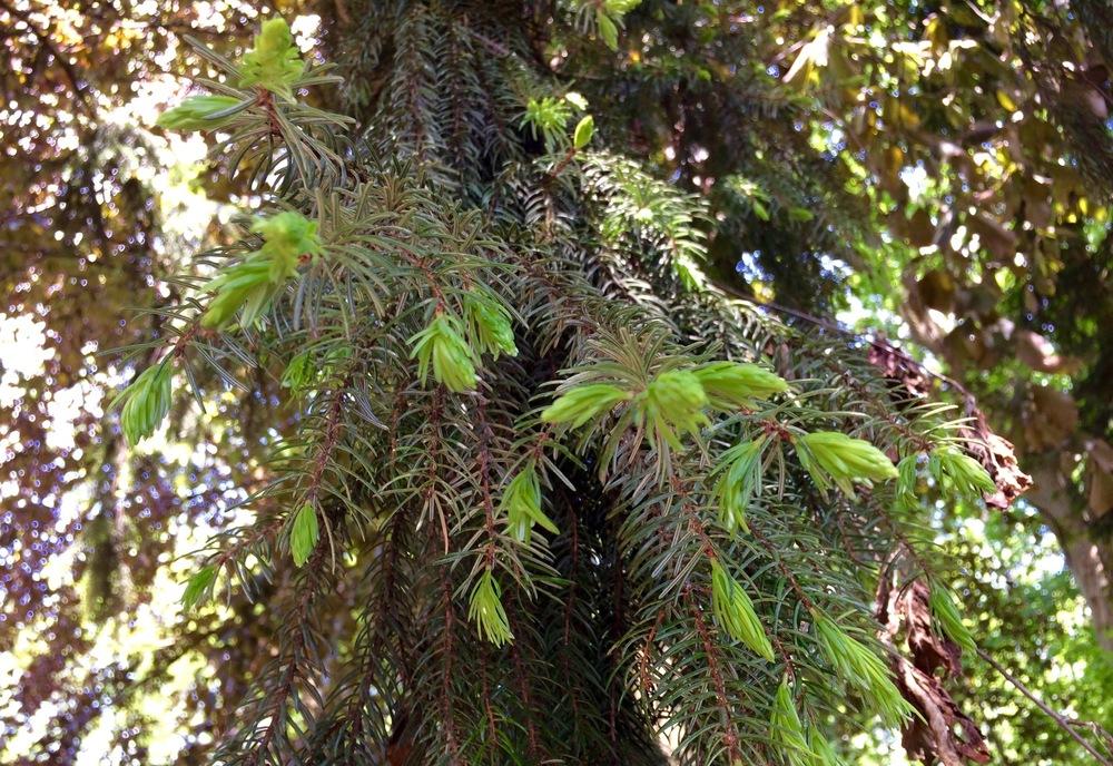 Zuerst brauchst du frische Wipferl. Dabei handelt es sich um hellgrüne neue kleine Blätter (Nadeln), die an den Spitzen von Fichten oder Tannen gewachsen sind. Dies geschieht im Frühjahr. Wir haben uns welche vom Waldkindergarten geholt, da wir weder Fichte noch Tanne im Garten haben.