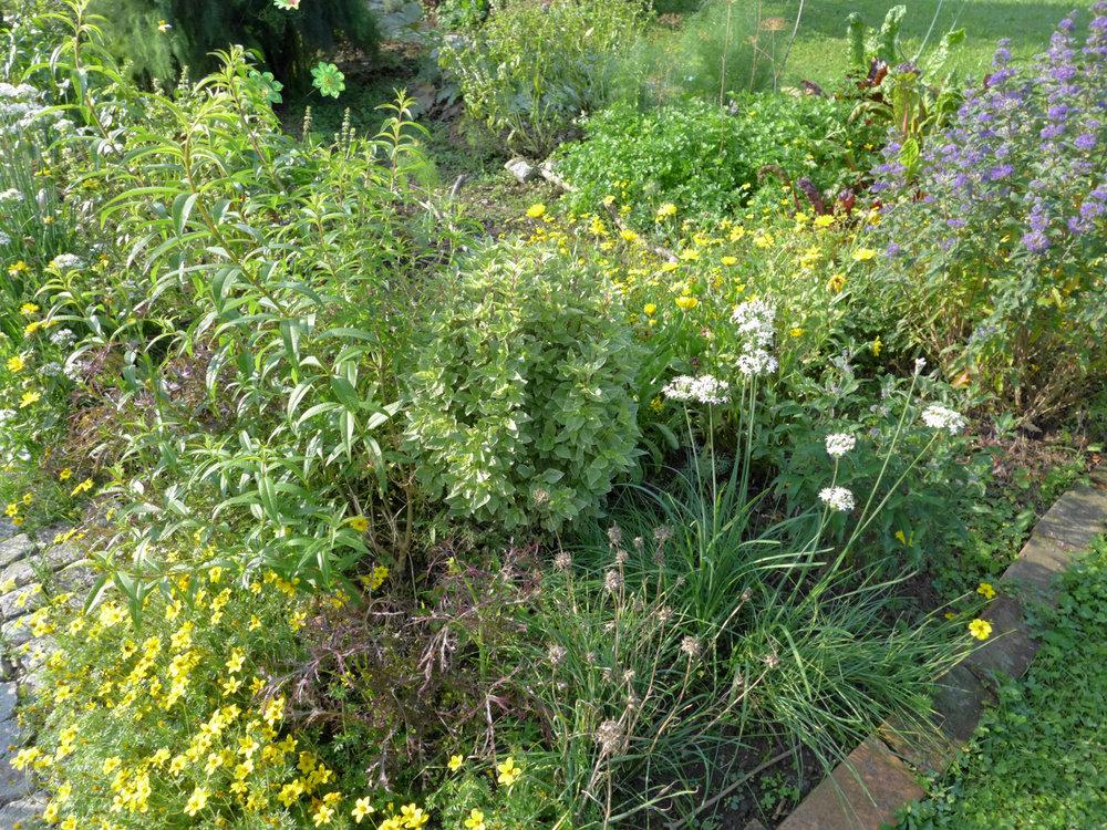 Der Pestobasilikum vor der Ernte im Garten