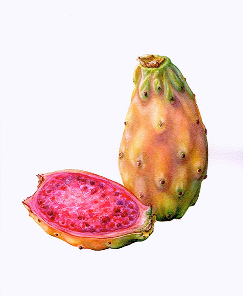 cactus-pear_500.jpg