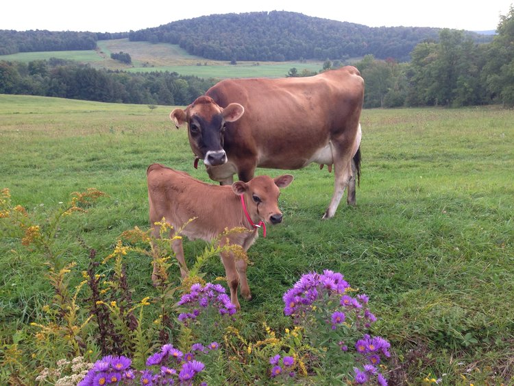 A cow-calf pair at Calf & Clover Creamery Cornwall Bridge, CT