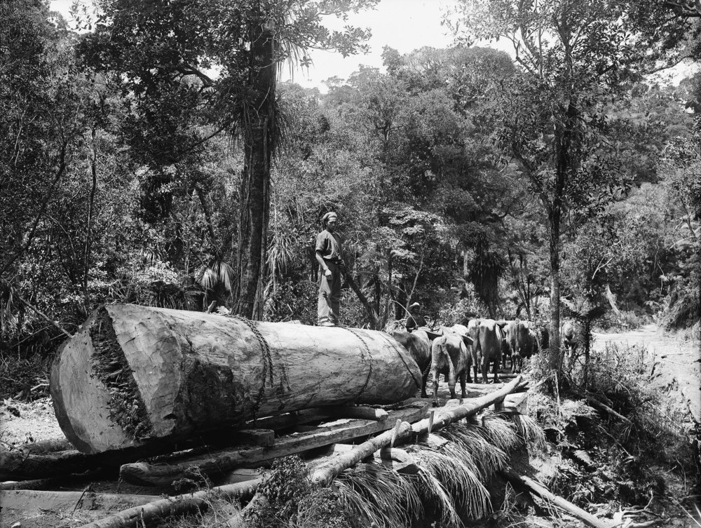 Team of bullocks hauling a Kauri log in North Auckland