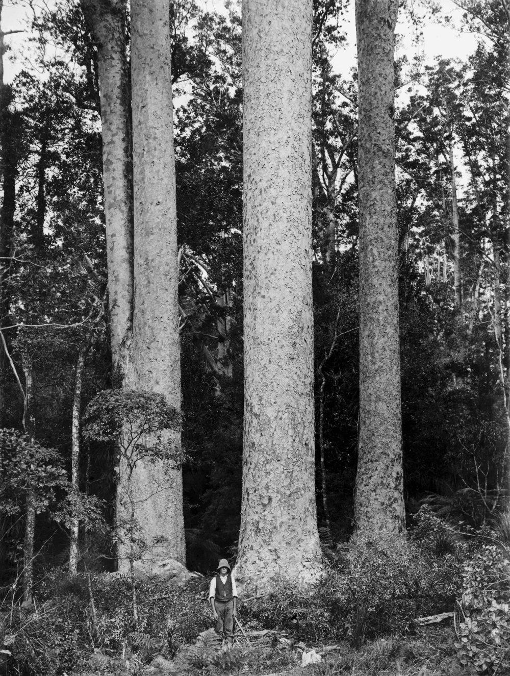 large kauri tress .jpg