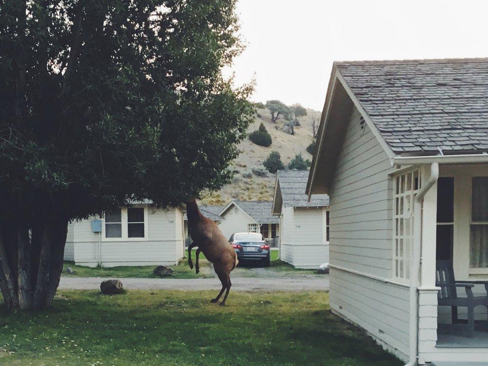 Elk at Mammoth Hot Springs