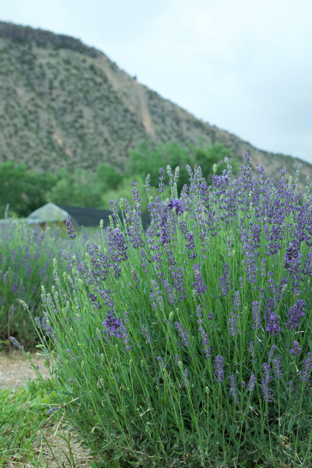 lavender in new mexico