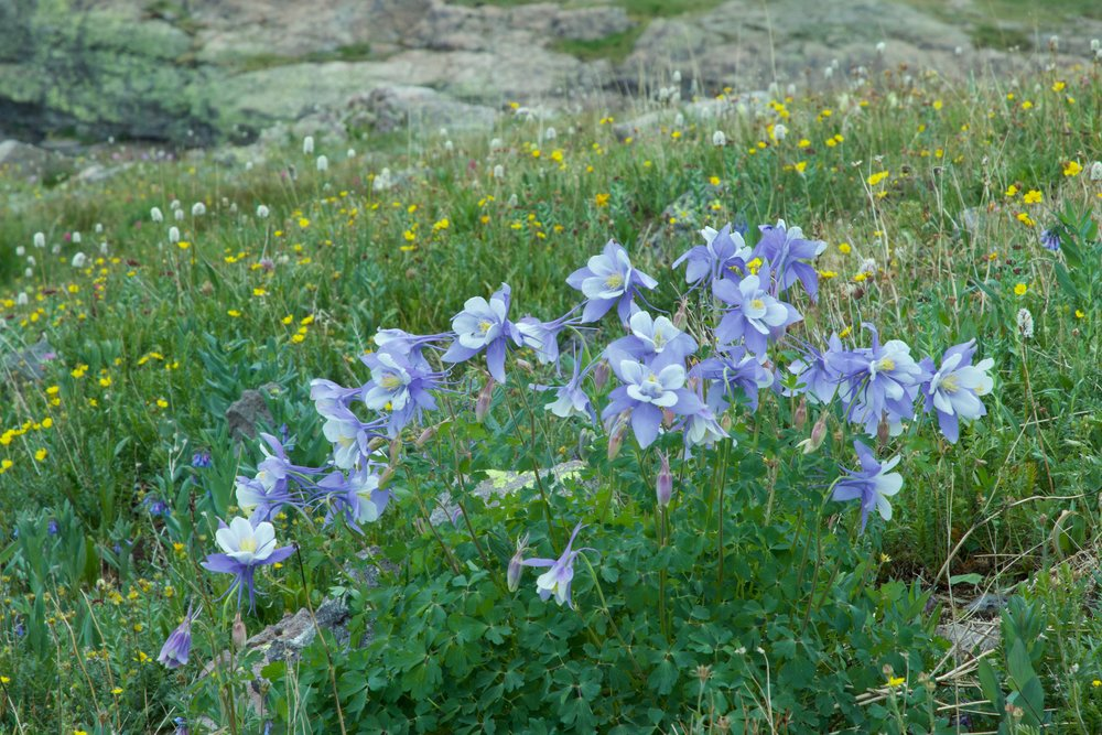 Columbines in Colorado rebecca mir grady