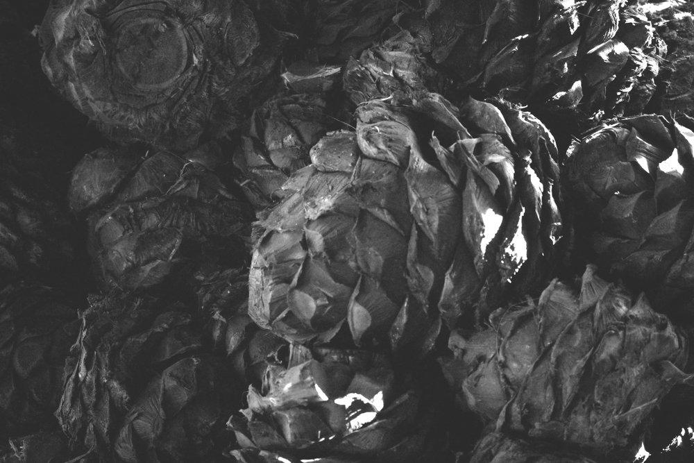 agave, prepped for mezcal making