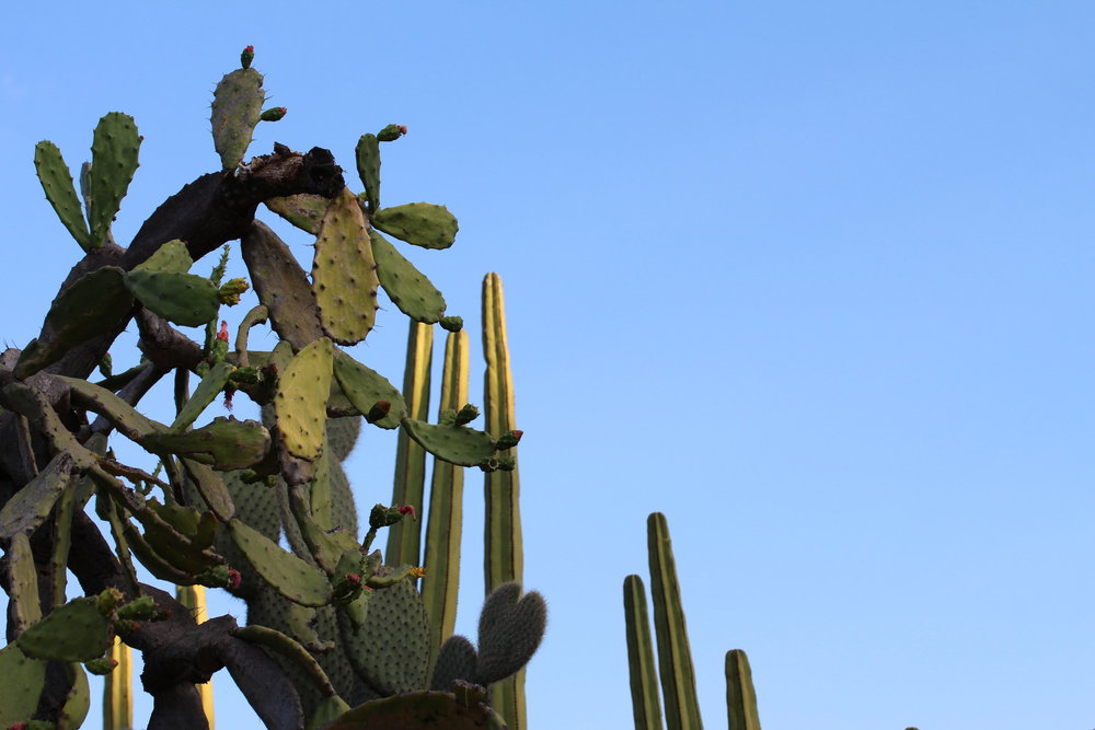cacti at the Jardín Etnobotanica