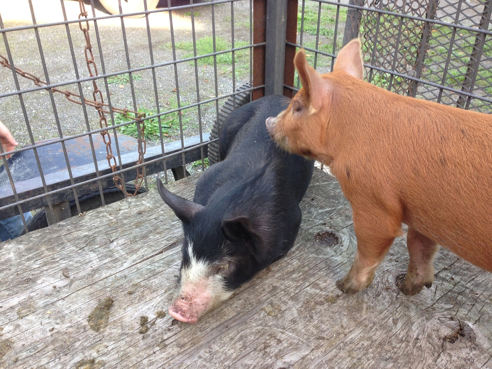 Poppy is the red one. Petunia is the black-and-white one. They're a Duroc-Berkshire mix, which is supposed to produce fabulous pork.