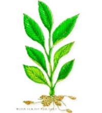 ph_turmeric_plant.jpg
