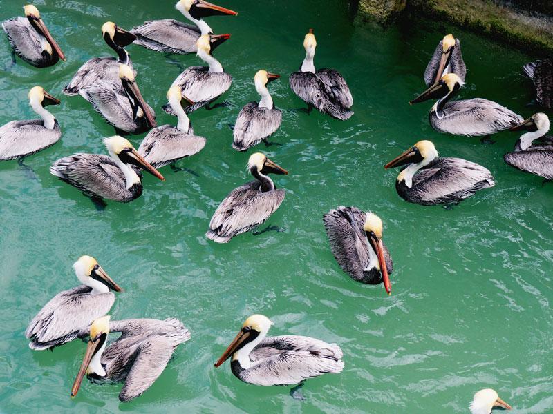 Pelicans. | Bud N' Mary's - Islamorada, FL