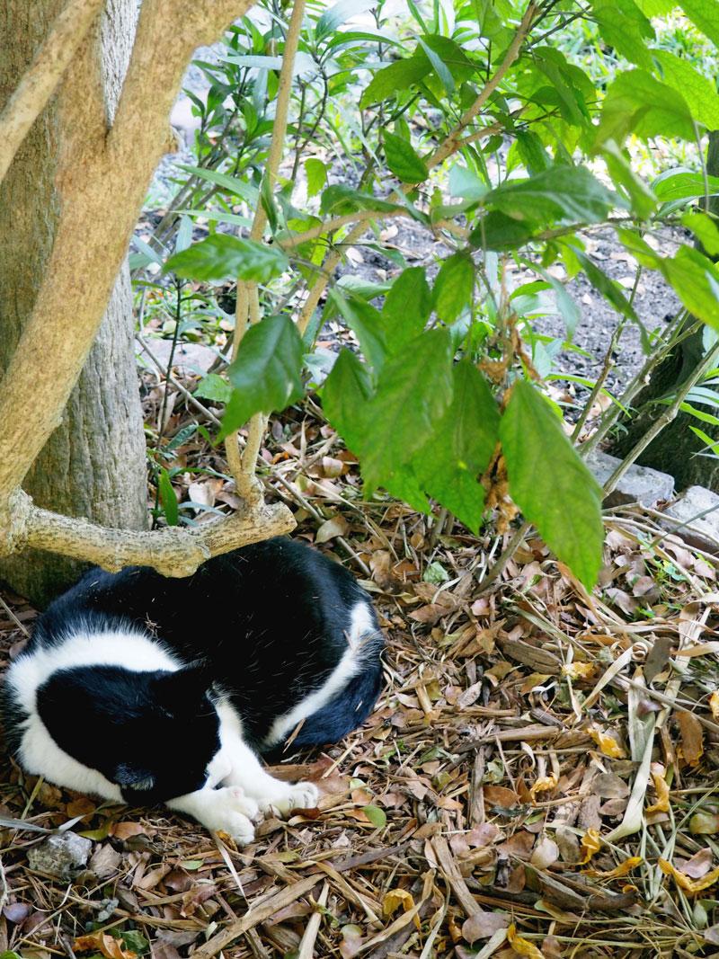 One of the six-toed Hemingway cats. | Hemingway House | Key West, Florida