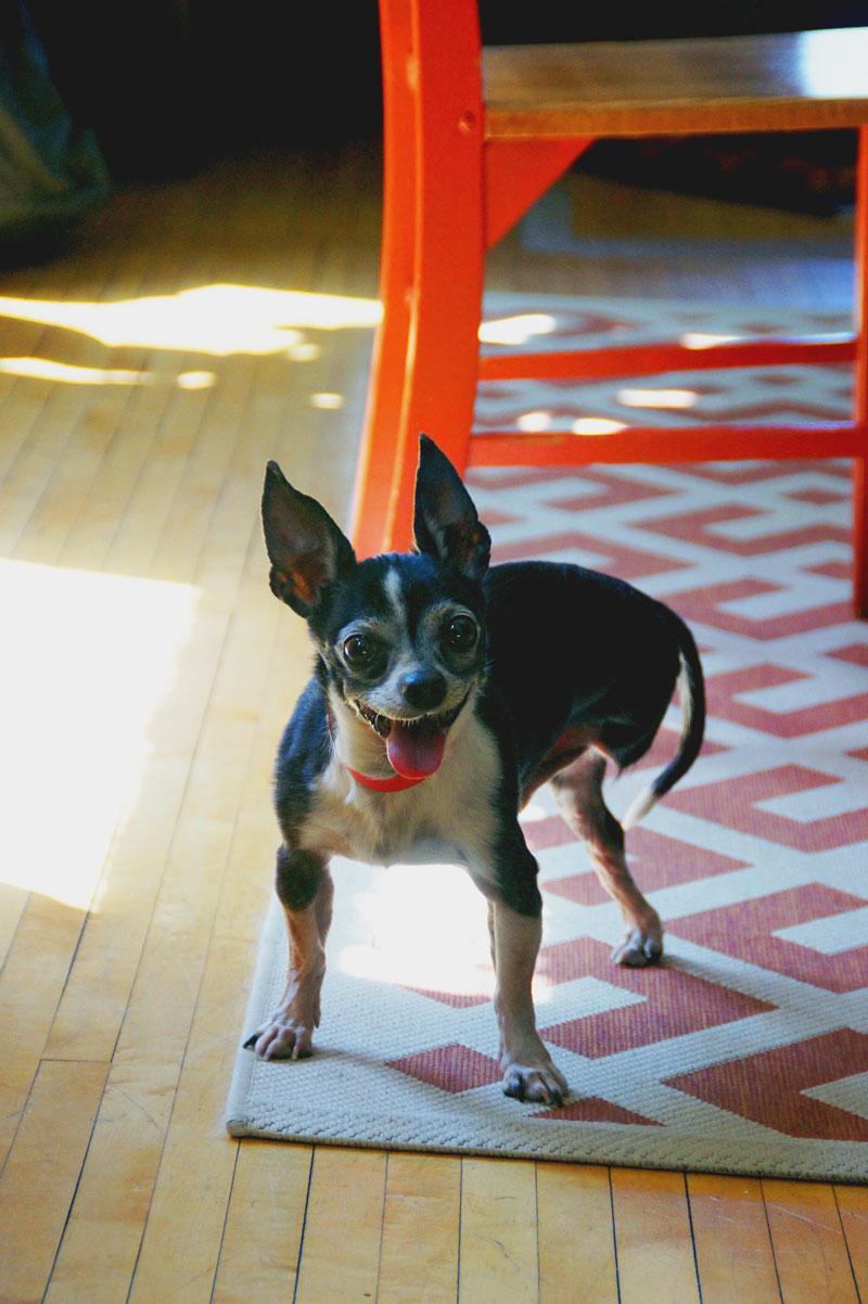 Chico, the three-legged chihuahua.