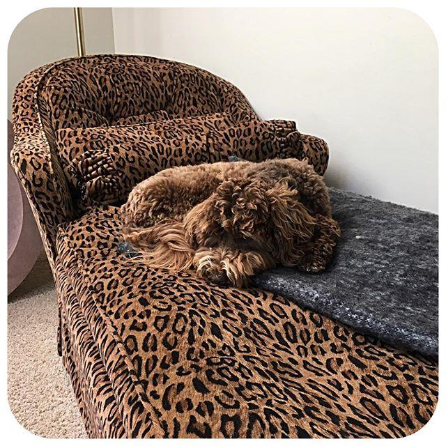 Every dog needs a leopard lounger! #vintage #goldendoodle #nashville #instadog #momentswithmona