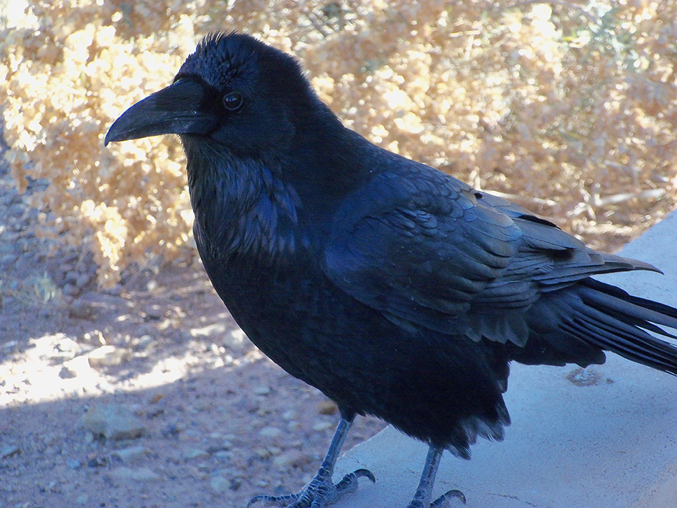 Raven Speaks by Terri Hill