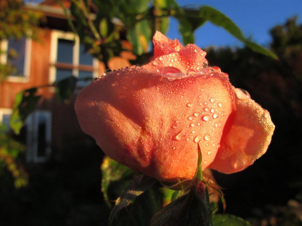 Home rose 12-20-09.JPG