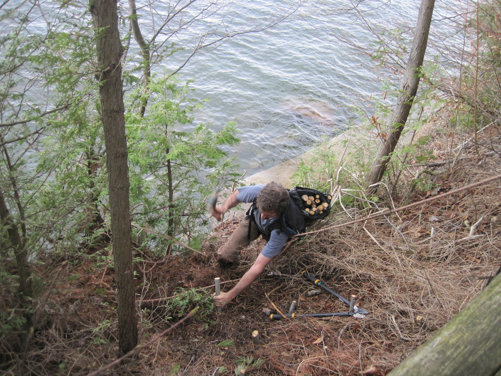 Installing willow live stakes on a shoreline.