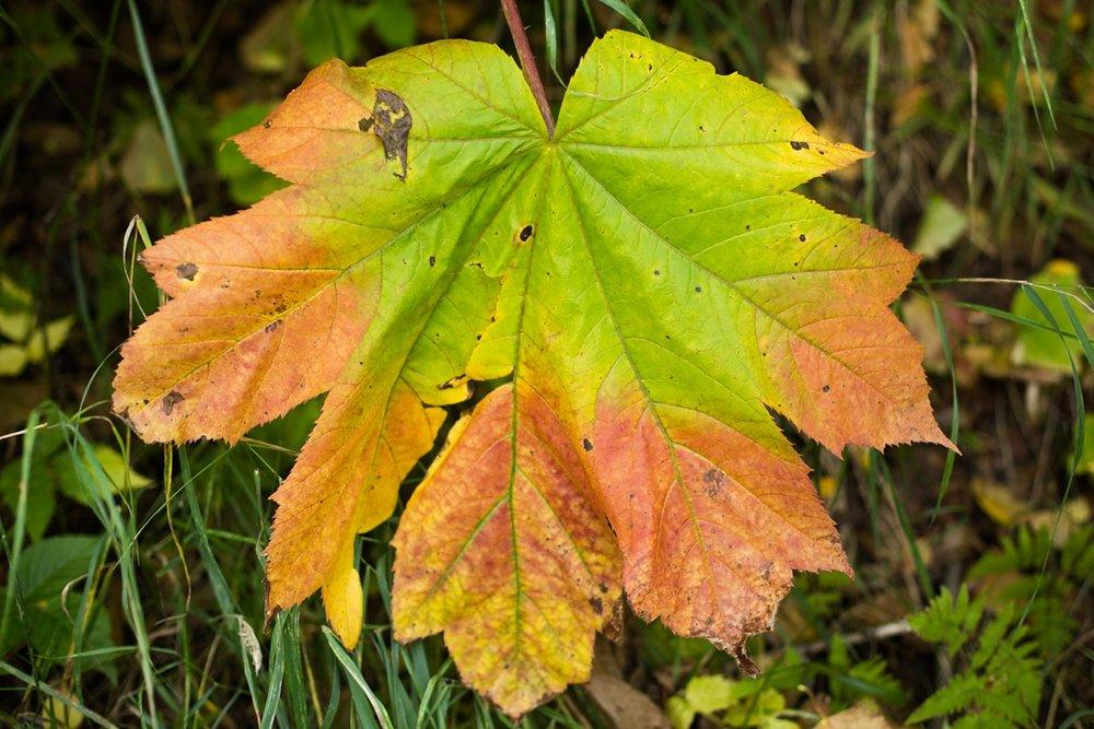 big fall leaf alaska_0003.jpg