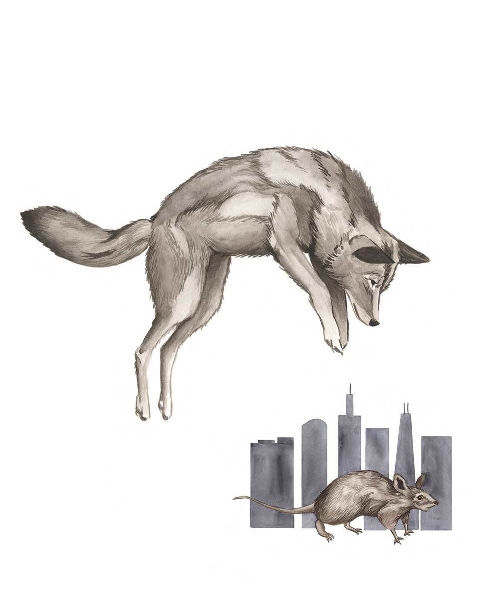 Illustration created for  City Creatures  a book about urban wildlife in the Chicago area. Publication date: October 2015