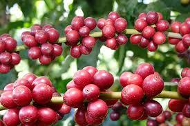 Galho de café maduros-1.jpeg