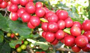 Galho de café maduros-2.jpeg