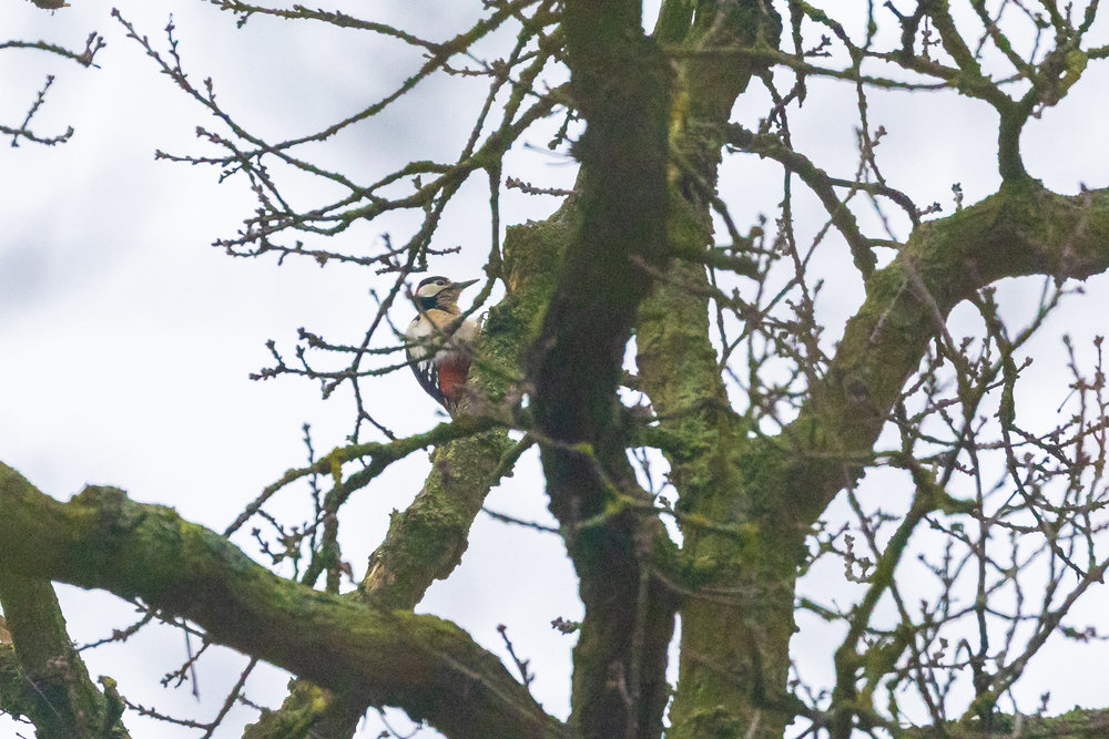 gswoodpecker-1.jpg