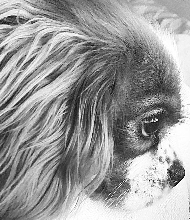 there's no greater comfort than your dog who never judges you and is always happy to be with you #cavalierkingcharlesspaniel #puppiesofinstagram #dogsofinstagram #comfort #unconditionallove