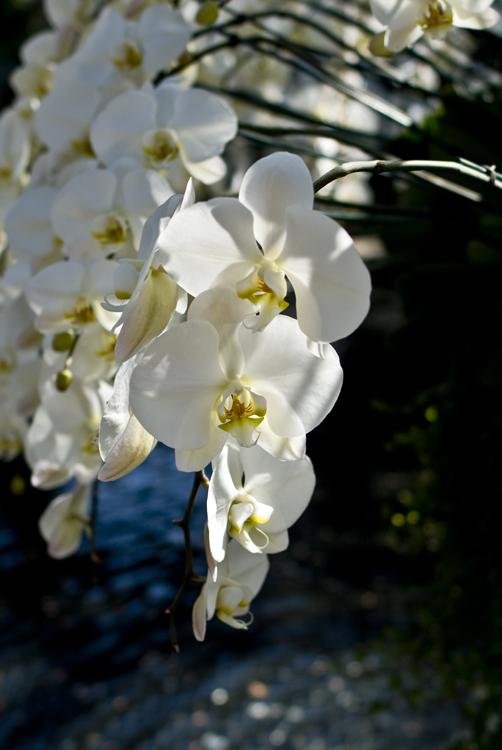 2015_Longwood Orchids_01.jpg