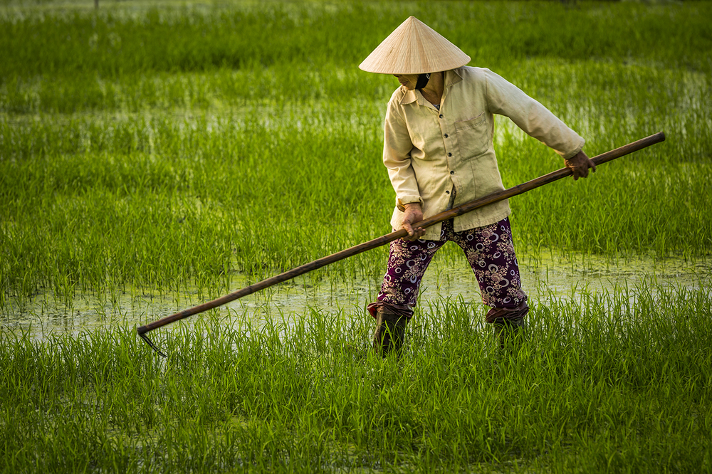 L Working in the Rice Paddy-4316.jpg