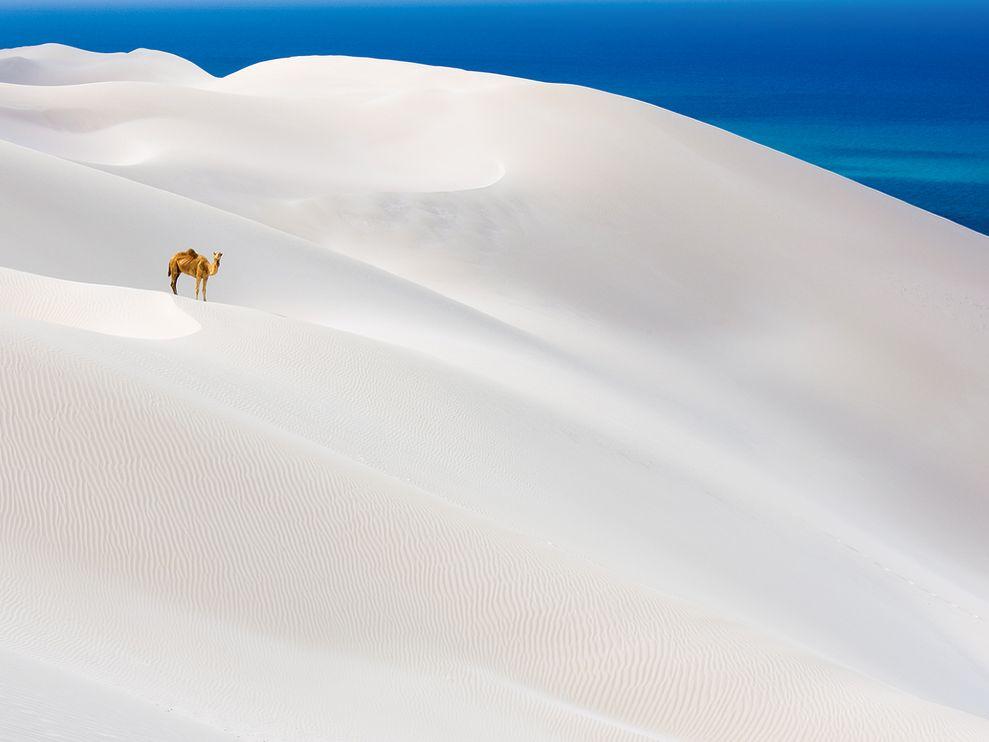 camel-white-sand-dunes-yemen.jpg