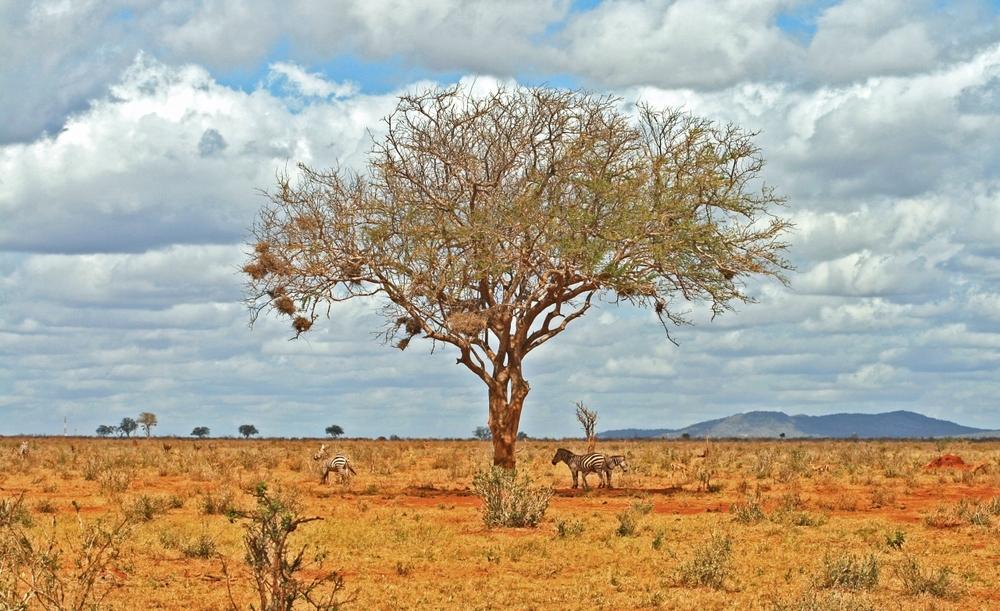 zebras_in_Africa.jpg