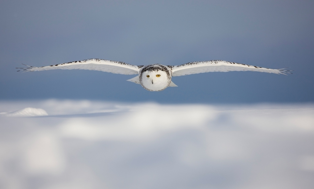 snowy-owl-snowy-white-owl-7wallpaper-blogfa-com.jpg