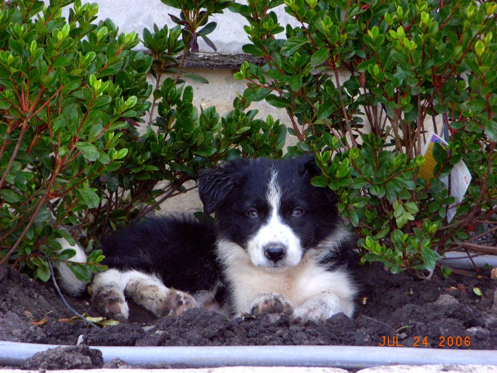 Rascal under bushes.JPG