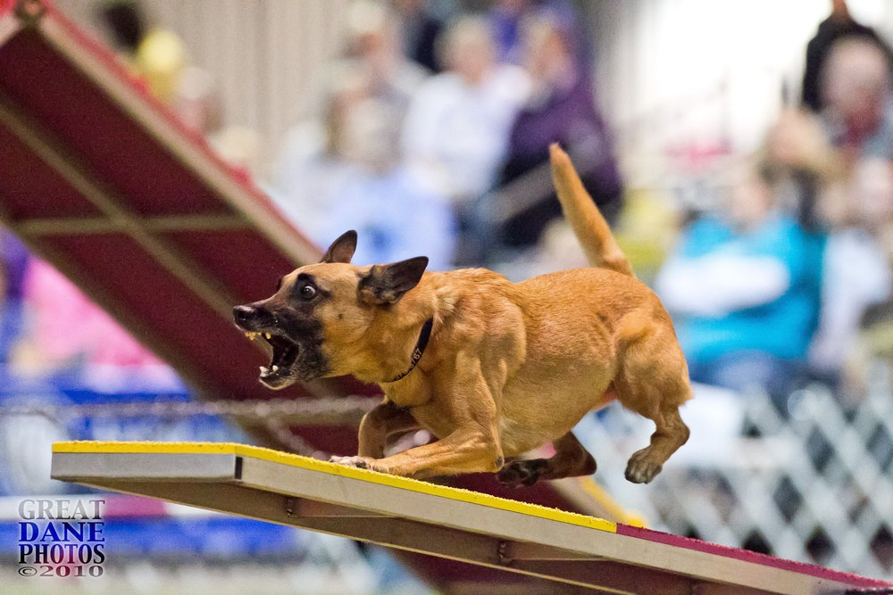 Temi at AKC Invitational Dec 2010.JPG
