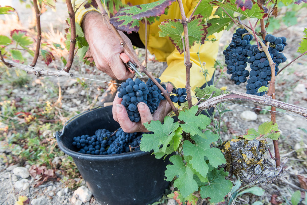 2018_Sept_Vendanges_DomaineMinchin_0638.jpg