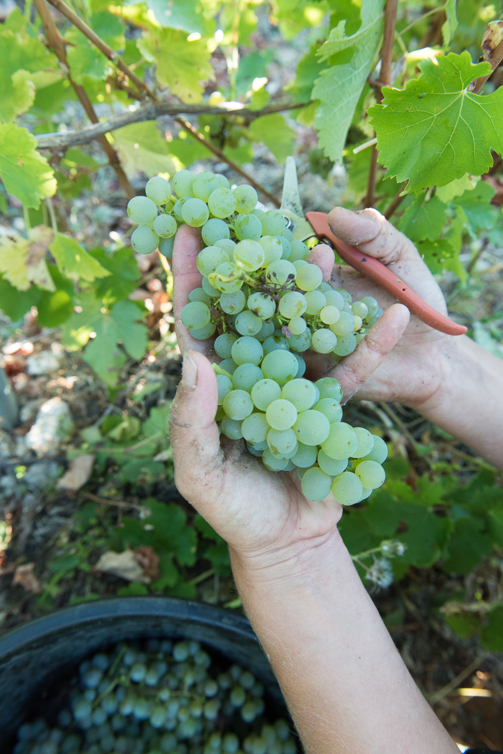 2018_Sept_Vendanges_DomaineMinchin_0851.jpg