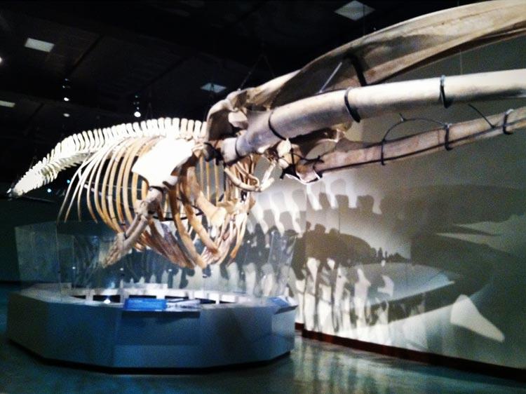 fin_whale_1.jpg