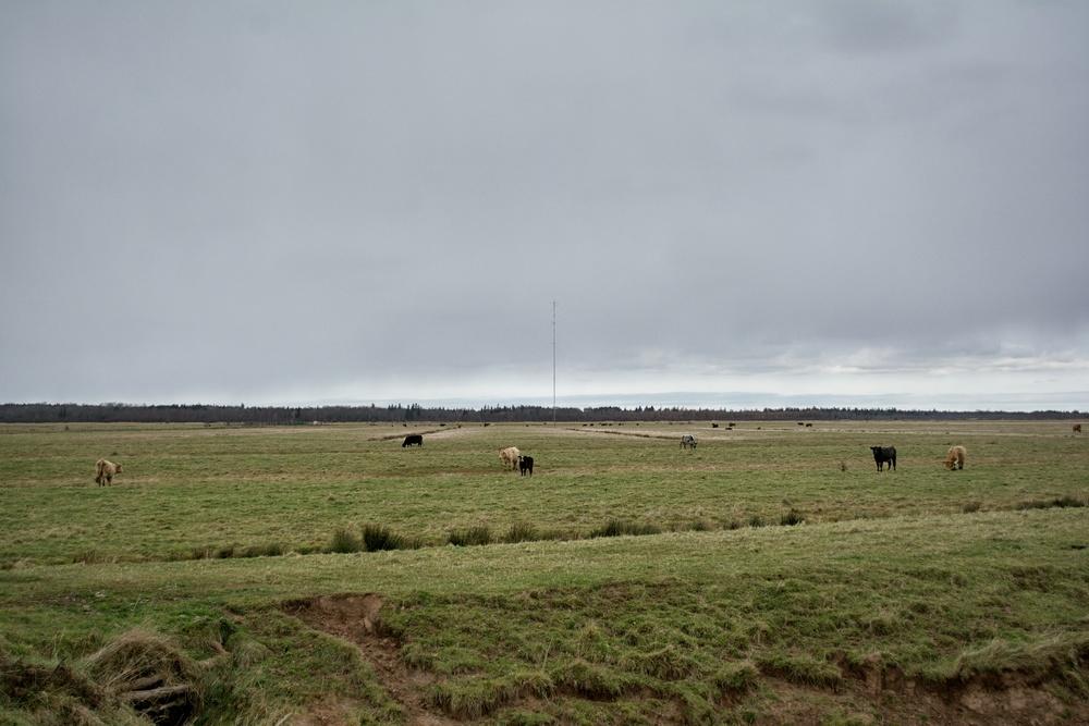 Tantramar Cows