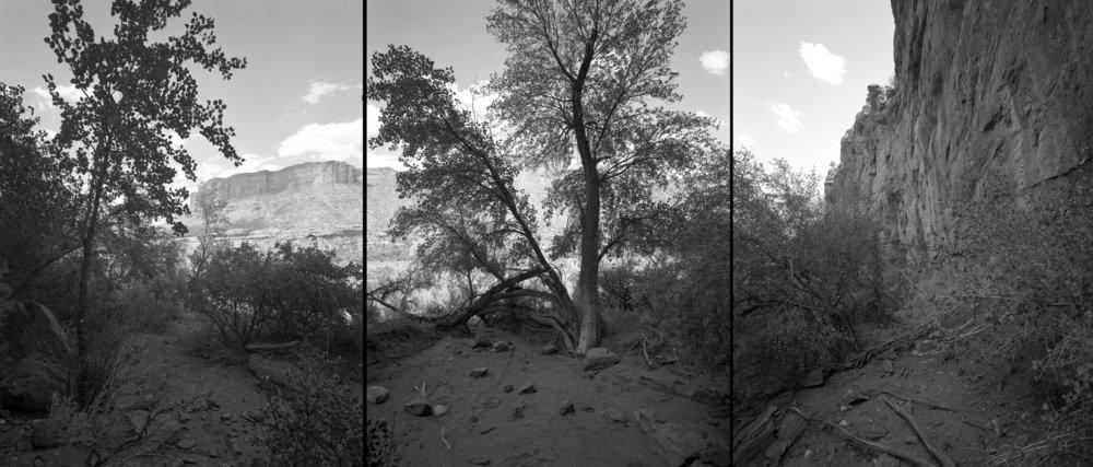 Singleleaf ash, Colorado, 2001