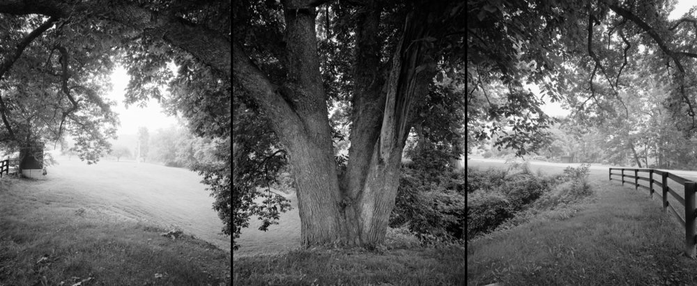 Swamp white oak, Ohio, 2002