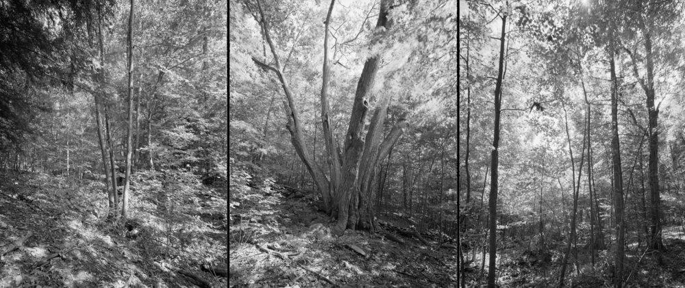 Northern red oak, Massachusetts, 2012
