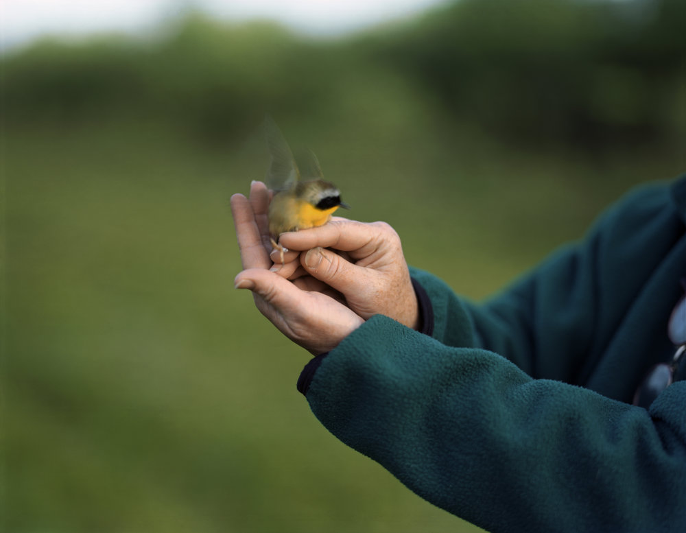 03-224 Common yellowthroat, update web.jpg