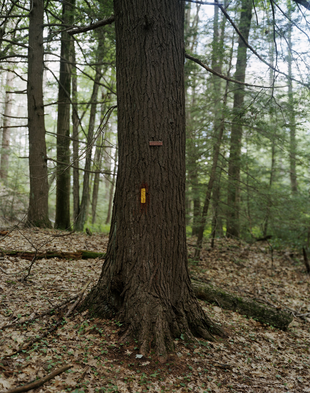 12-107 Hemlock tree, full from CS.jpg
