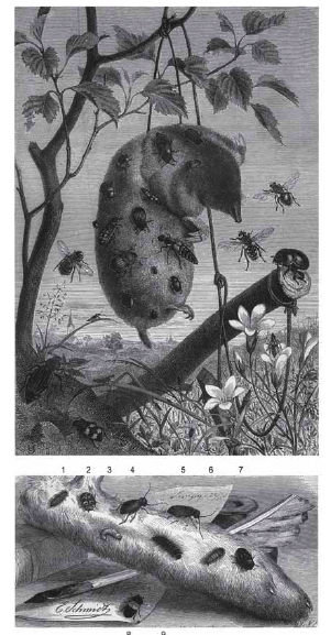 "Fig. 10: The fauna of corpses was a popular subject at the end of the 19th century. Figures from one of the best known books of its time in Germany, ""BREHMs Thierleben"". Top: Animals on fresh corpses: Dead mole with correct selection of clearly identifiable insects that are attracted to early decomposition, e.g. silphid, histerid and staphylinid beetles, blowflies (Calliphoridae), flesh flies (Sarcophagidae) and others. Bottom row: Animals on dried out corpses: 1, 2 Anthrenus sp. (""museum beetle"") with larvae; 3-5 Ptinus sp. and larvae; 6, 7 Attagenus pellio with larvae; 8, 9 Dermestes lardarius and larvae (from TASCHENBERG 1877)."