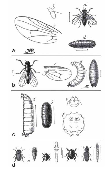 "Fig. 9: Figures of flies from MÉGNIN's ""Faune des cadavres"" (1894). a ""Sarcophaga carnaria"" (Sarcophaga carnaria); b ""Pyophila petasionis."" (Piophila casei); c ""Lucilia caesar"" (maggot); d from left to right: ""Silpha obscura"" (adult and larva), ""Saprinus rotondatus"" (adult and larva), ""Hister cadaverinus"" (adult), and ""Tenebrio obscurens"" (adult and larva). Determination features were given  quite the same way as today, e.g. by wing venation, antennae, posterior spiracles and characteristics of pupae."