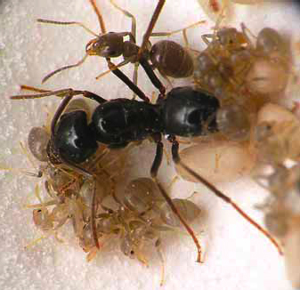 Fig. 17: A jet ant (wood ant) Lasius fuliginosus became crucial evidence in a conviction for manslaughter performed by a German priest. The ant was found under the boot of the offender (Photo: A. NIVAGGIOLI; case details in BENECKE & SEIFERT 1999).