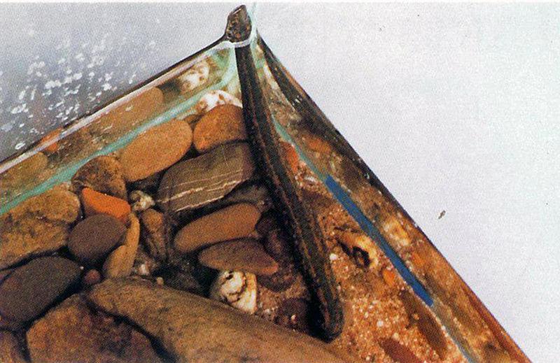 Abbildung 2. Aquarien für Blutegel müssen gut abgedeckt sein, da die Tiere leicht an den Glasscheiben emporklettern können.
