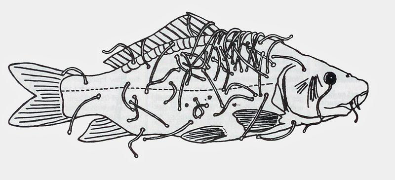 Abbildung 3. Im Gegensatz zum Blutegel befält der Fischegel, Pisciola geometra, ausschließlich Fische (Zeichnung nach Gruner 1993).