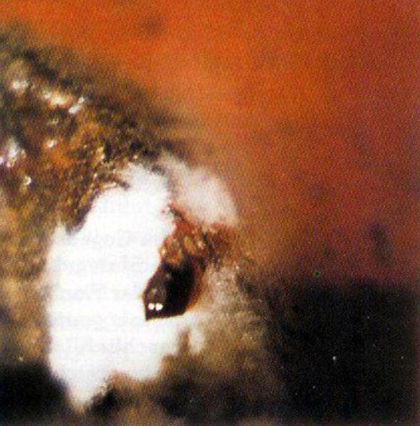 Abbildung 5. Der Schaumkokon mit bis zu 30 Eiern wird auf feuchter Erde abgelegt.