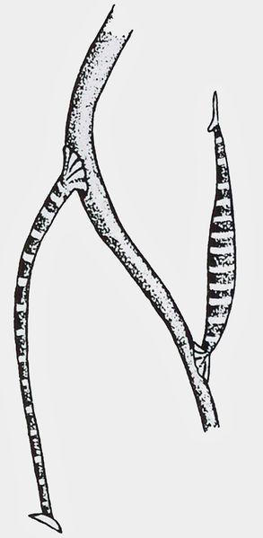 Abbildung 6. Fischblutegel: rechts lauernd, links in Ruhestellung (nach Harant & Grasse 1959).